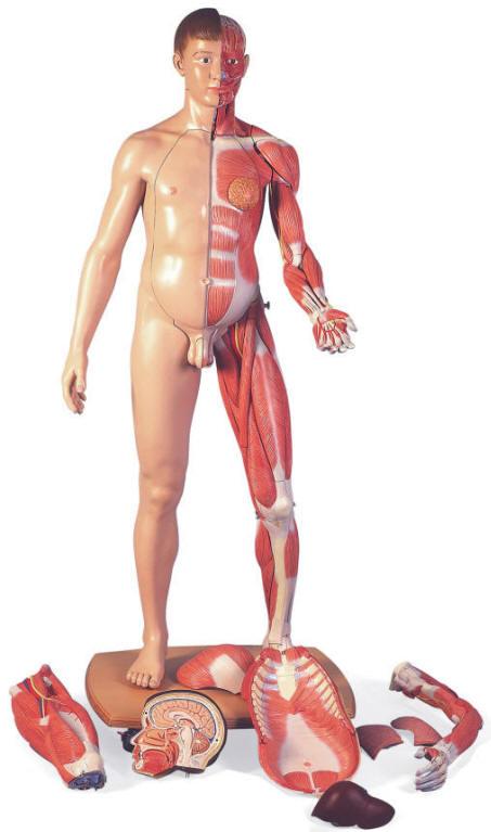 Human Body Anatomical Models
