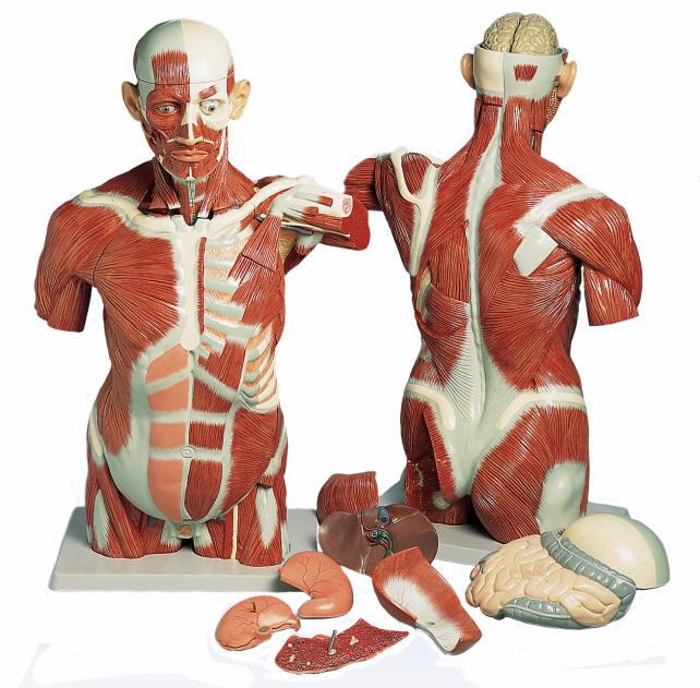 Muscle Torso Model - Life Size