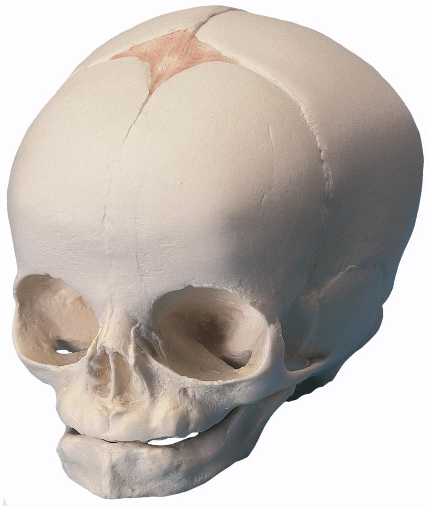 Fetal Skull Anatomy Fetal Skull Model
