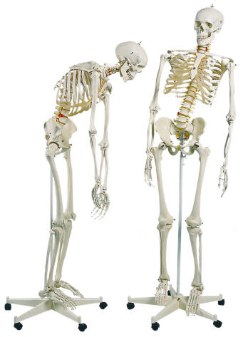 Blank+skeleton+diagram+to+label