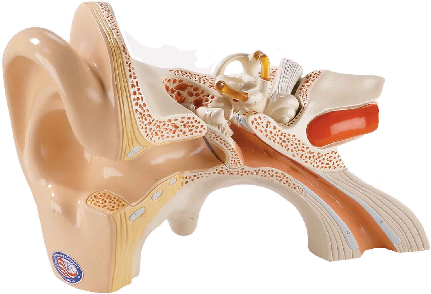 Giant Human Ear Models - Highly detailed