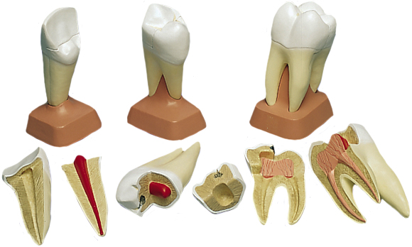 Human Tooth Models