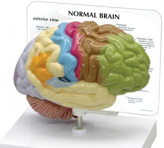 color coded human brain models show functions