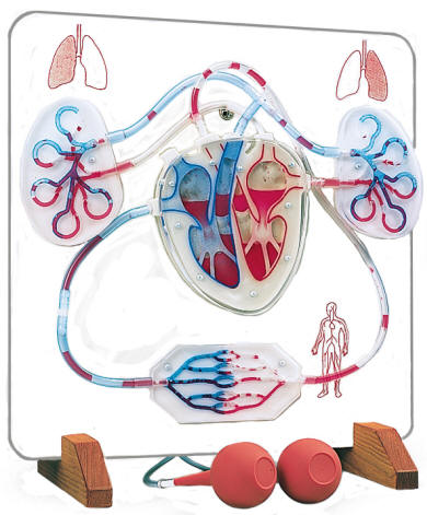 circulatory system veins and arteries. and circulatory system