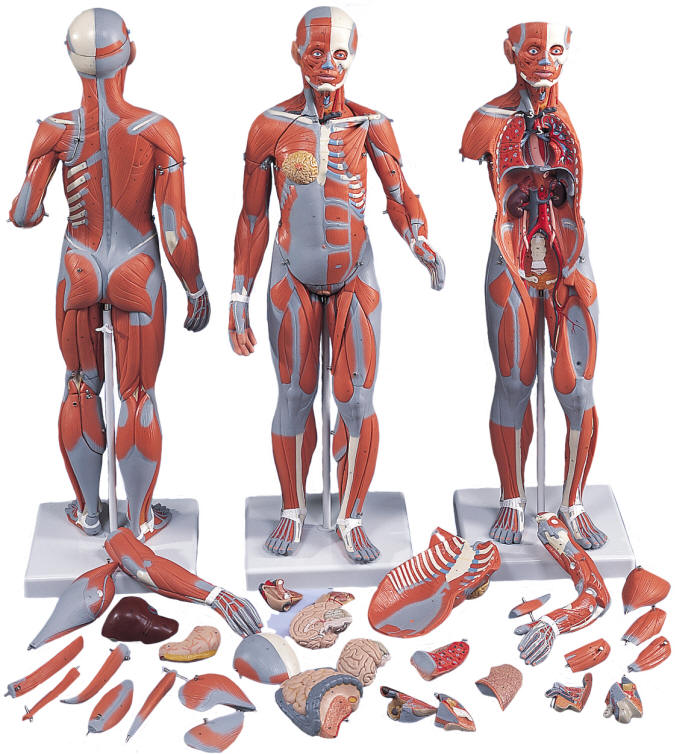 half life size full body human muscle model, Muscles