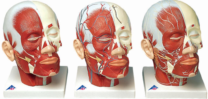 Head and Face Muscle Models