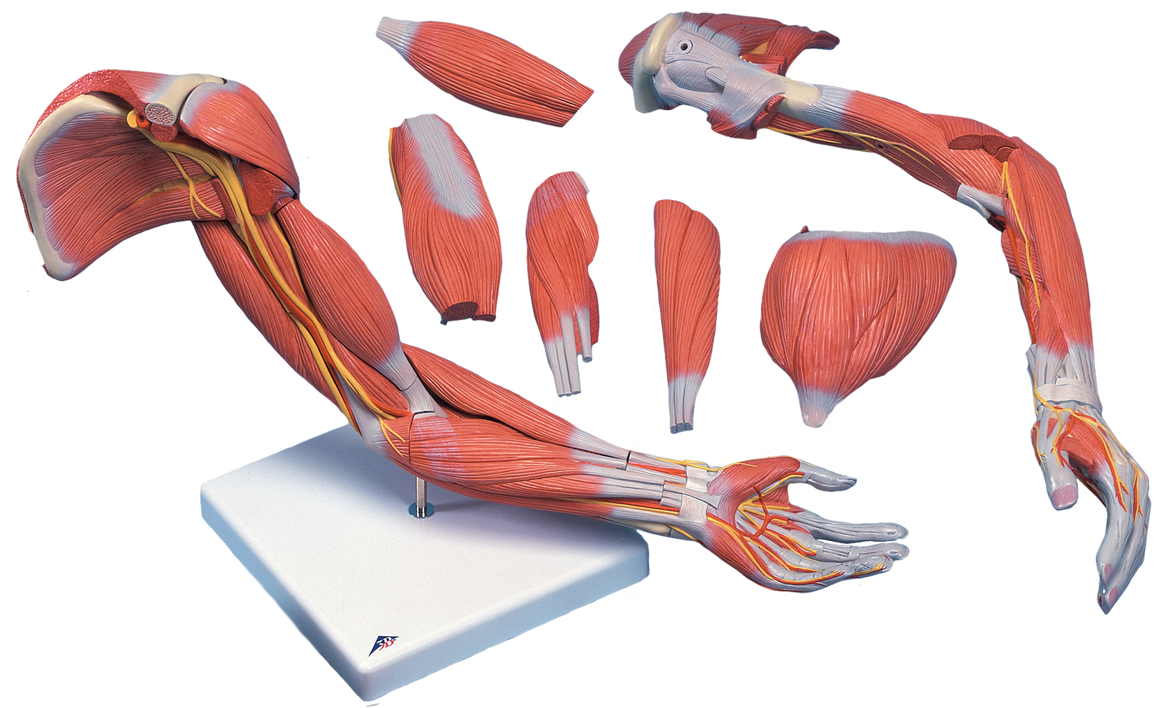 Arms muscle anatomy