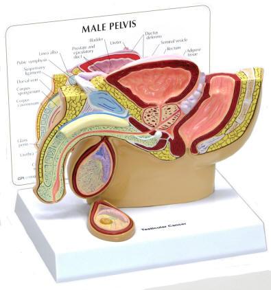 Male Genitalis Models Male Sex Organs