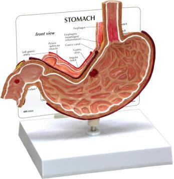 Human Stomach Model
